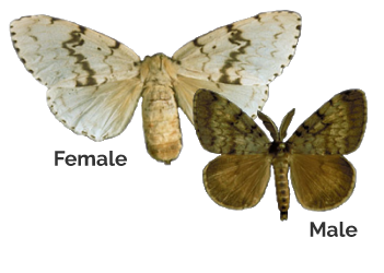 Gender of gypsy moths